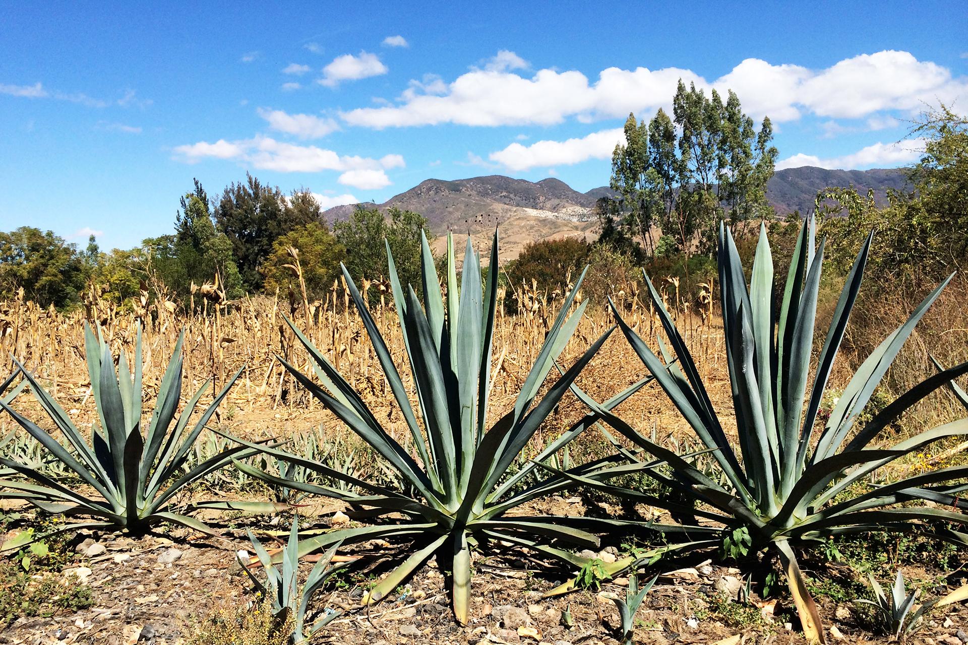 oaxaca-mexico-mezcal-tour_agave_plant